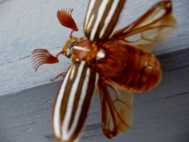june bug flying by hoviemon