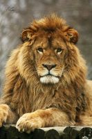 King lion by EliseJ-Photographie