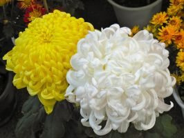 Yellow and White Chrysanthemums by Sanluris