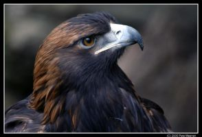 Golden Eagle 2 by UrsusAmericanus
