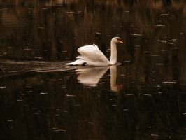 splendor of swan by rockmylife