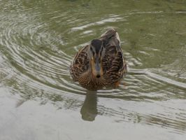 A duck by rimis
