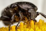 Feeding Chafer Beetle by dalantech