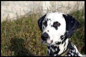 Dalmatian by Chentyt