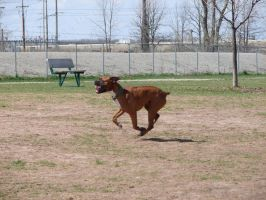Boxer Running in Dog Park by FantasyStock
