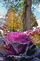 Ornamental Cabbage by funygirl38