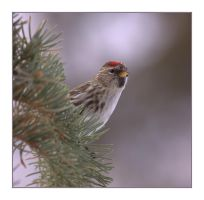 Peek-a-boo Redpoll by dove-51