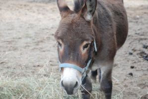 Donkey3 by EquestrianPassion