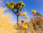 Joshua Tree by Izzie-Hill