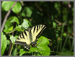 Tiger swallowtail by Mogrianne