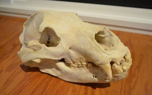 Grizzly Bear Skull by Lupen202