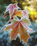 Maple leaf and Frost by LarryRaisch