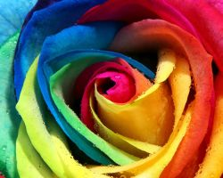 colourful rose by 95Nightgirl