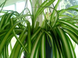I love spider plants by morphinetears36