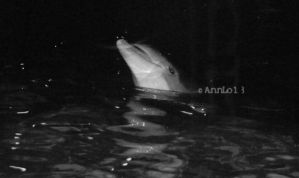 BW Show Dolphin by annlo13