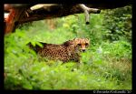 Hiding Cheetah by TVD-Photography