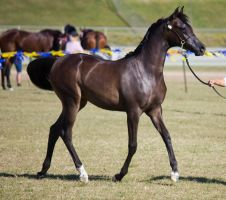 STOCK - Gold Coast Show 063 by fillyrox