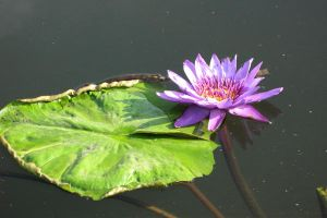 Water lily Stock 09 by Malleni-Stock