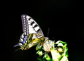 Papilio machaon by lica20