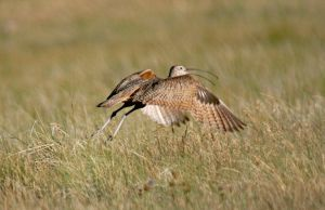 Longbilled Curloo Launch by Kippenwolf