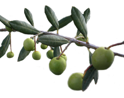 Olives PNG stock by lubman