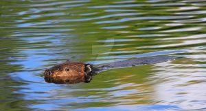 Beaver at Turtle River by JordanCYork