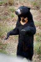Standing Sun Bear by DeniseSoden
