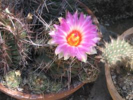 Flower of cactus 2 by Kitsch1984
