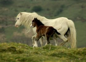 welsh ponies by imtl