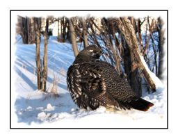 Spruce Grouse by dove-51