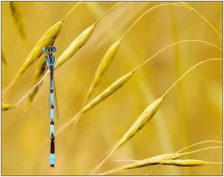 Damselfly by justinblackphotos