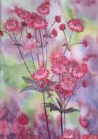 Astrantia by louise-art