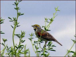 Dickcissel II by SuicideBySafetyPin