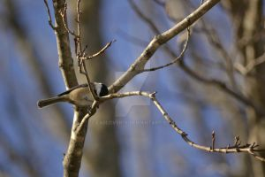 Black Capped Chickadee-dee-dee by lablover76