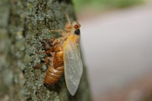 17-Year Cicada Revisited II by Kerrbare
