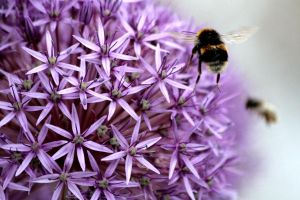 Allium and Bumblebee by Tinap