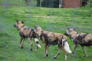African Wild Dog Pack 2 by lucky128stocks