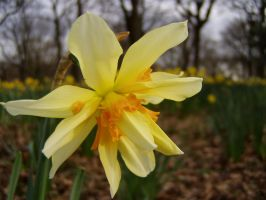 .stock: daffodil. by guavon-stock