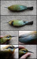 Rainbow Bee-eater Study Skin by CabinetCuriosities