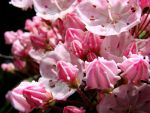 Macro Pink Mt Laurel II by TriciaStucenski