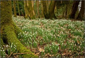 Scottish Snowdrops by Rebacan
