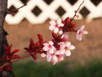 Plum Blossoms 6 by XxSilverOwl13xX