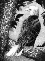 American Bald Eagle by Aneyana