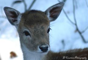 Baby Deer by davetimmins