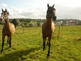 Animals - Running Horses 03 by Stock-gallery
