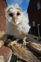 BARN OWL BABY STOCK 1 by Theshelfs