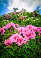 Higashi Village Azalea Festival - Flowers 2 by Natures-Studio