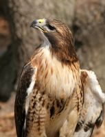 Red-tailed Hawk 20D0024723 by Cristian-M