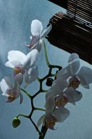 My Christmas Orchid by moreMDM