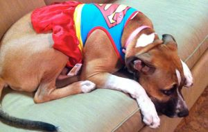 My Boy Dog sad in his Super Girl Costume by sampson1721